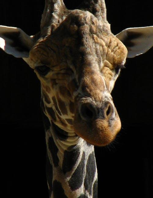 Ilmainen kuvapankkikuva tunnisteilla hämmästyttävä, hauska, hauska seikkailu, kirahvi