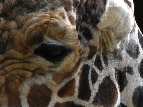 Ilmainen kuvapankkikuva tunnisteilla hauska, kirahvi, kirahvit, laikukas