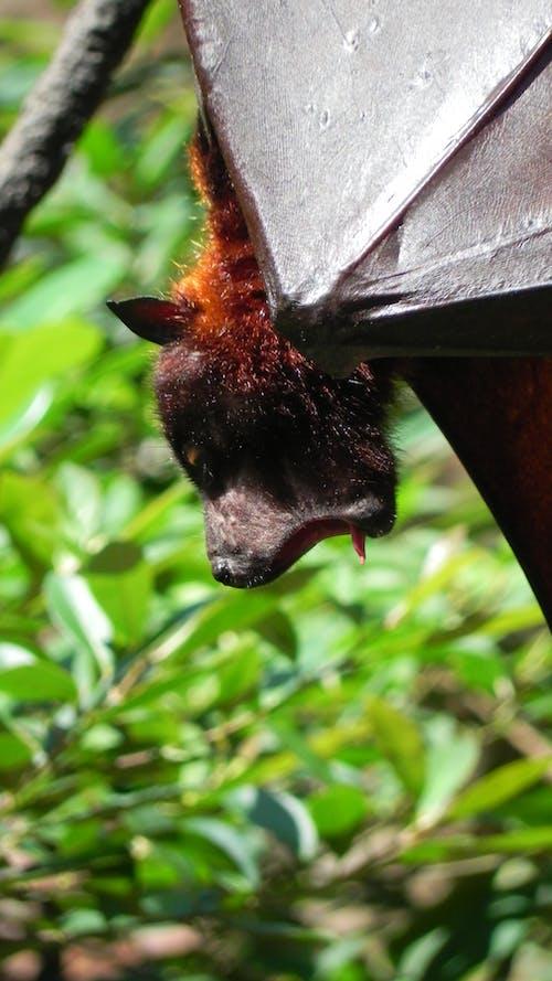 Ilmainen kuvapankkikuva tunnisteilla big bat, haukottelu, hauska, hedelmäsatama
