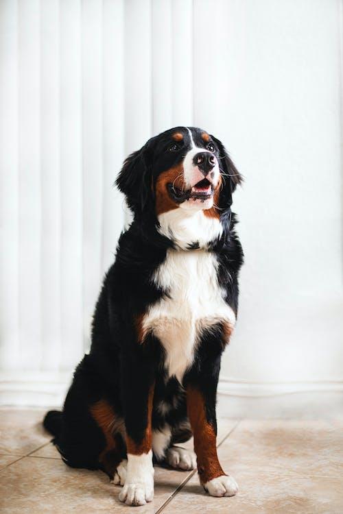 bernese, Bernese dağ köpeği, çok sevimli