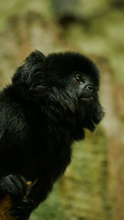 divočina, opice, primát