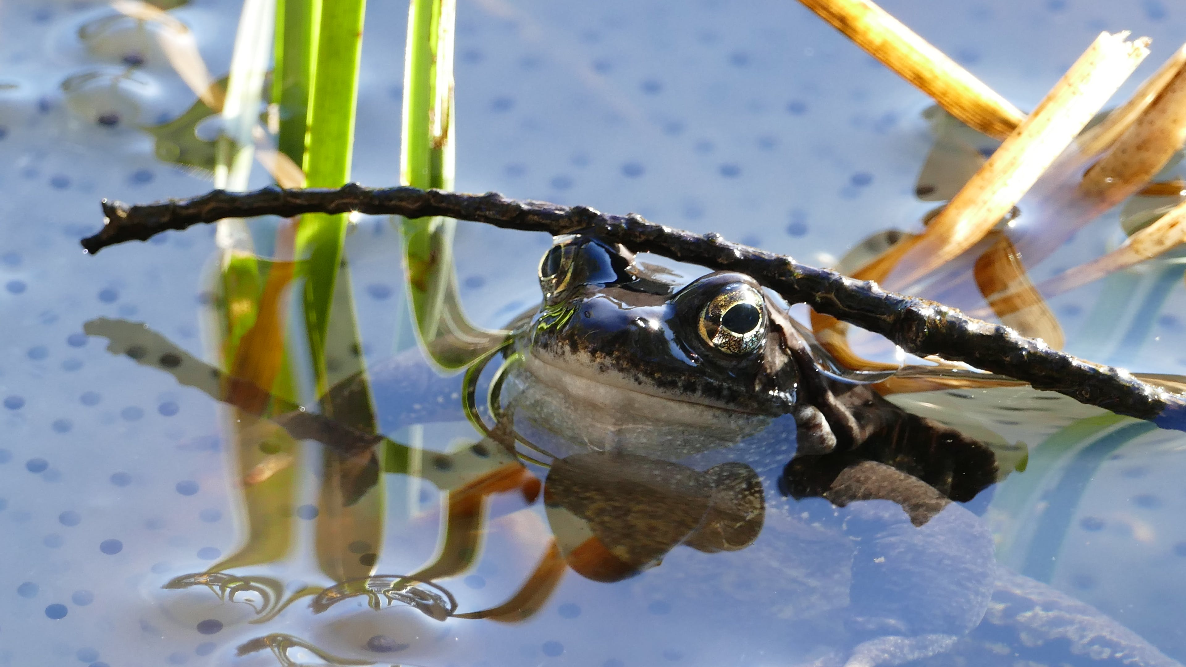 Free stock photo of amphibian, frog, lake, pond