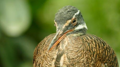 Burung Puyuh Coklat