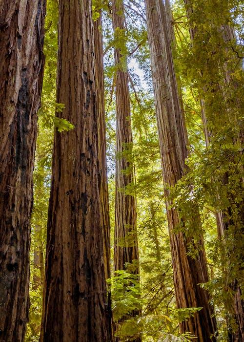 Immagine gratuita di albero di sequoie california