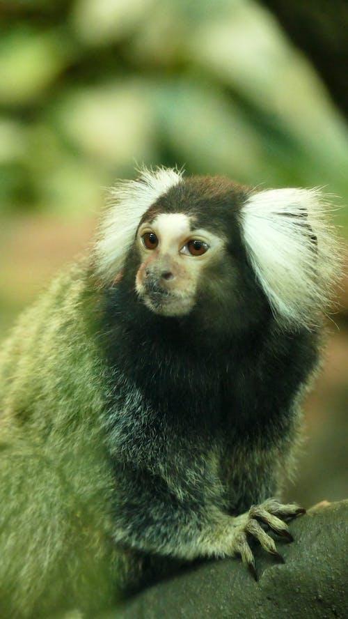 Foto profissional grátis de animais selvagens, animal, jardim zoológico, macaco
