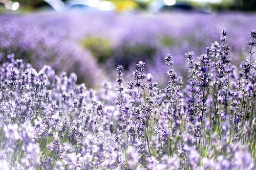 Gratis lagerfoto af Aromaterapi, aromatisk, bane, blomster
