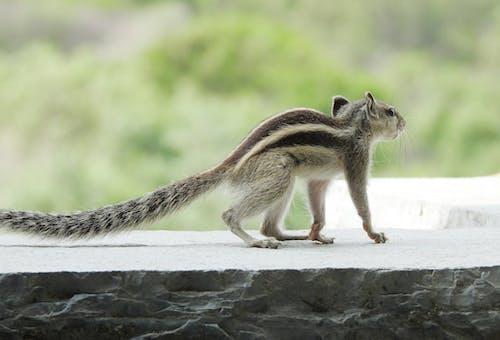 Ingyenes stockfotó India, indiai mókus, indián, közelkép témában