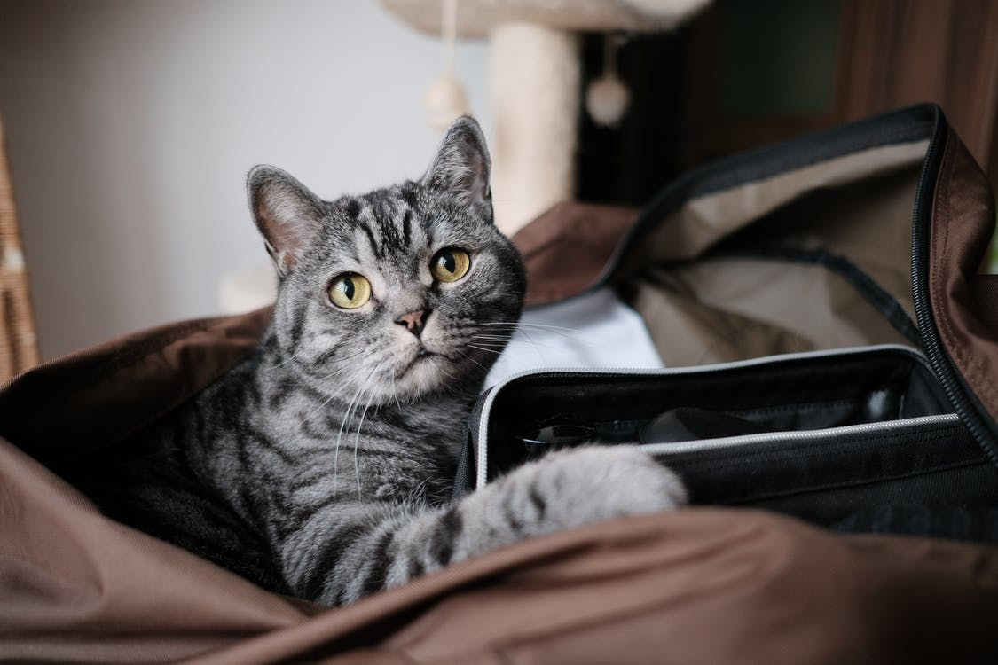 αιλουροειδές, αξιολάτρευτος, Γάτα