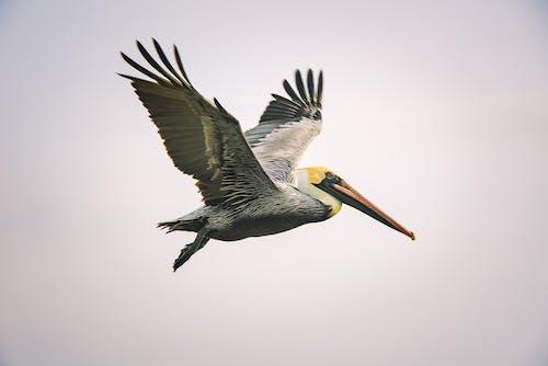 Kostenloses Stock Foto zu braune pelikan, draußen, federn, fliege