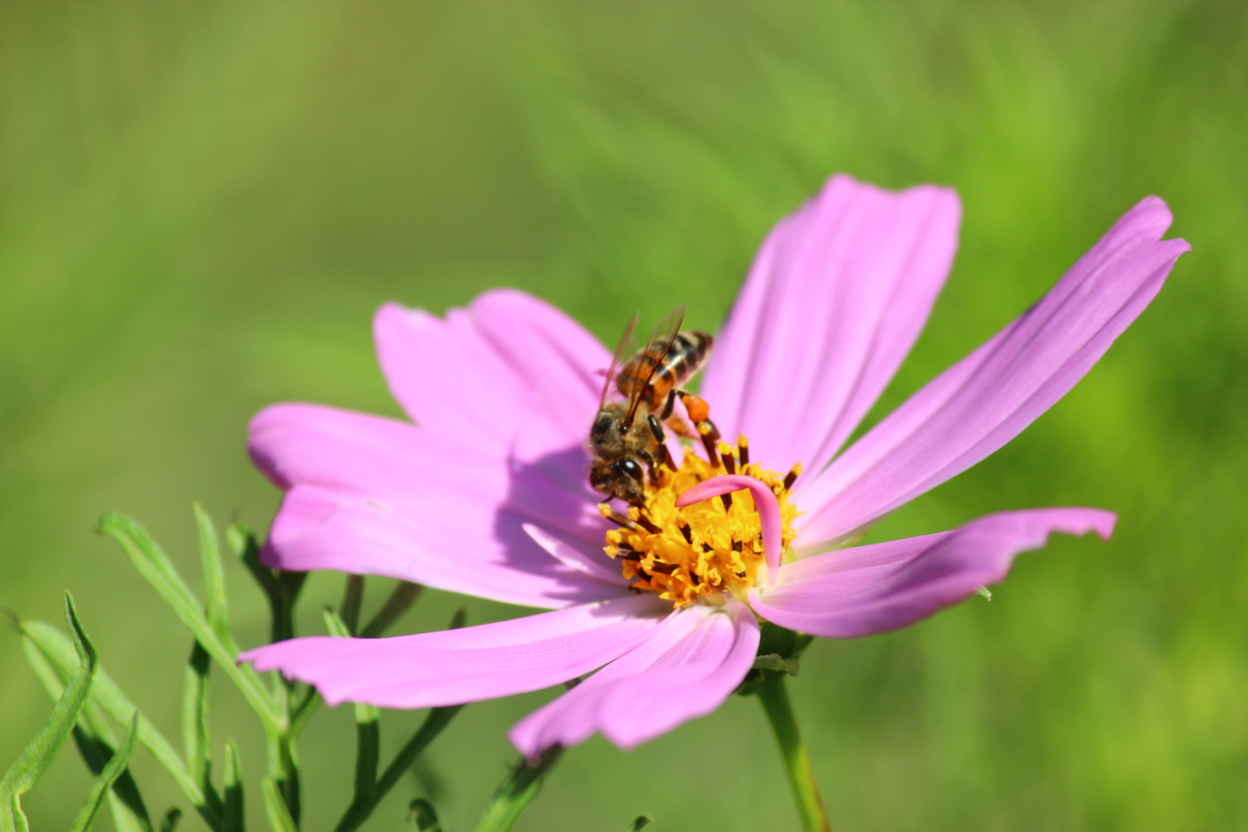 Free stock photo of bee, cosmea, cosmos bipinnatus, cosmos plant
