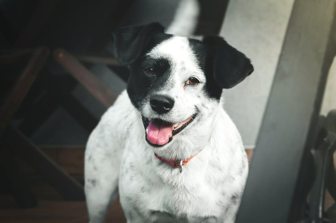 alb-negru, câine, cățel