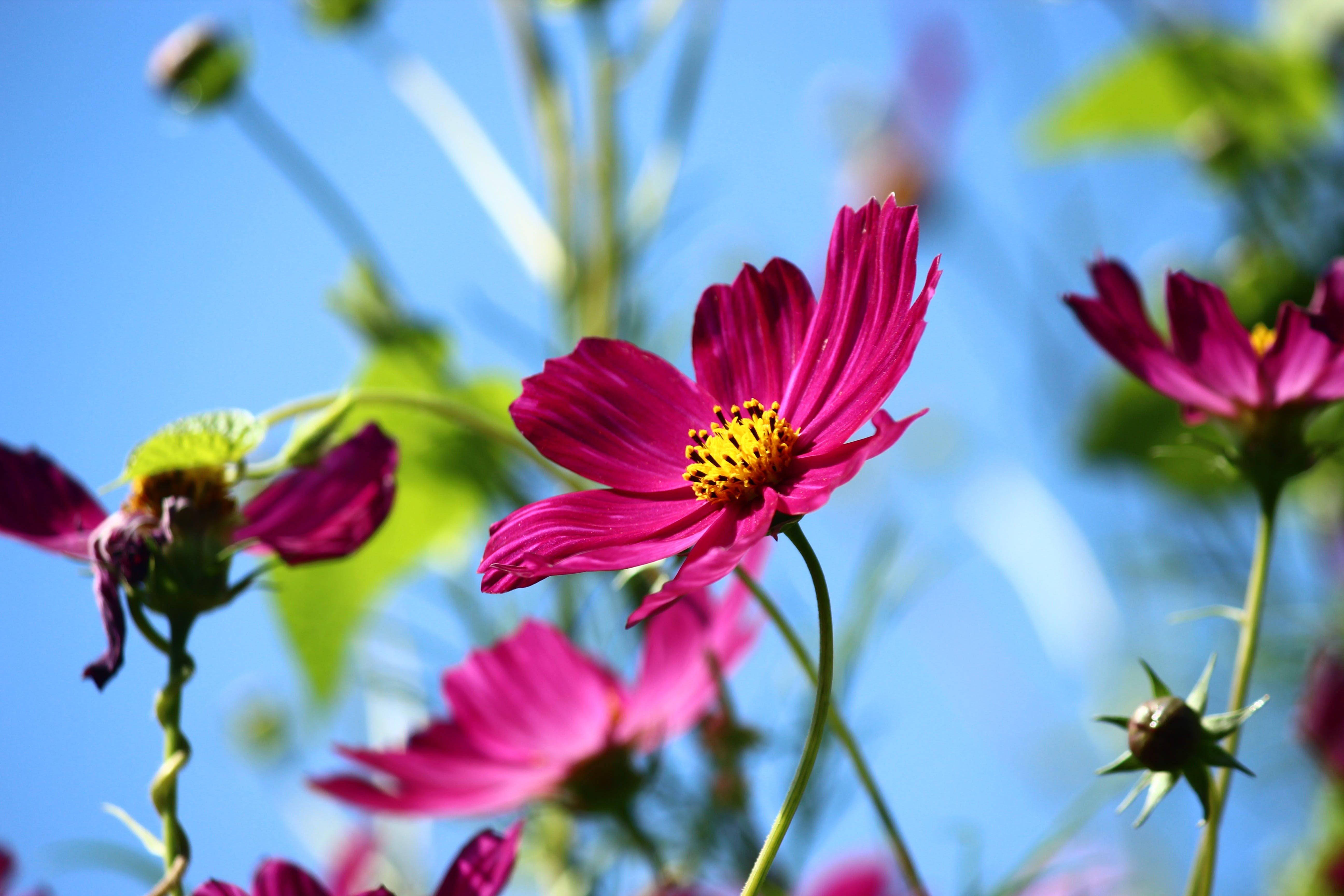Free stock photo of spring, flower, cosmea, cosmos bipinnatus