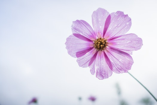 Free stock photo of garden, flower, floral, cosmos