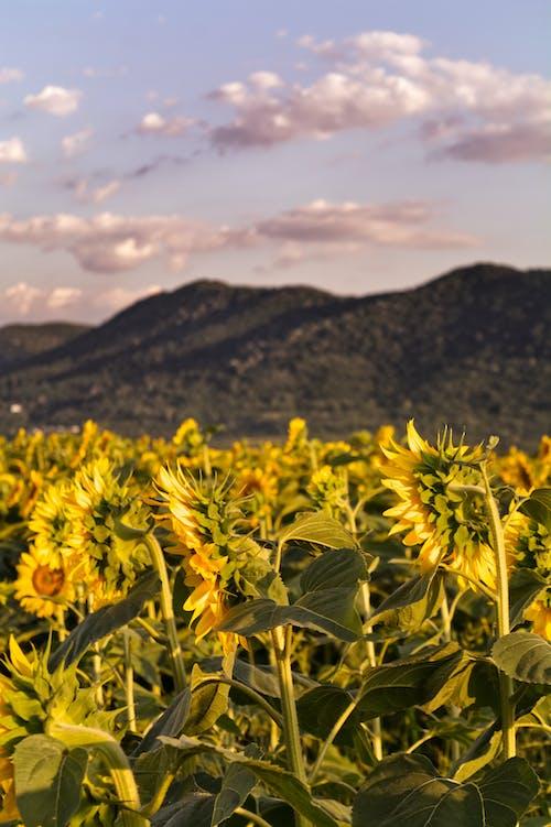 Gratis stockfoto met mooi landschap, veld zonnebloemen, zonnebloem