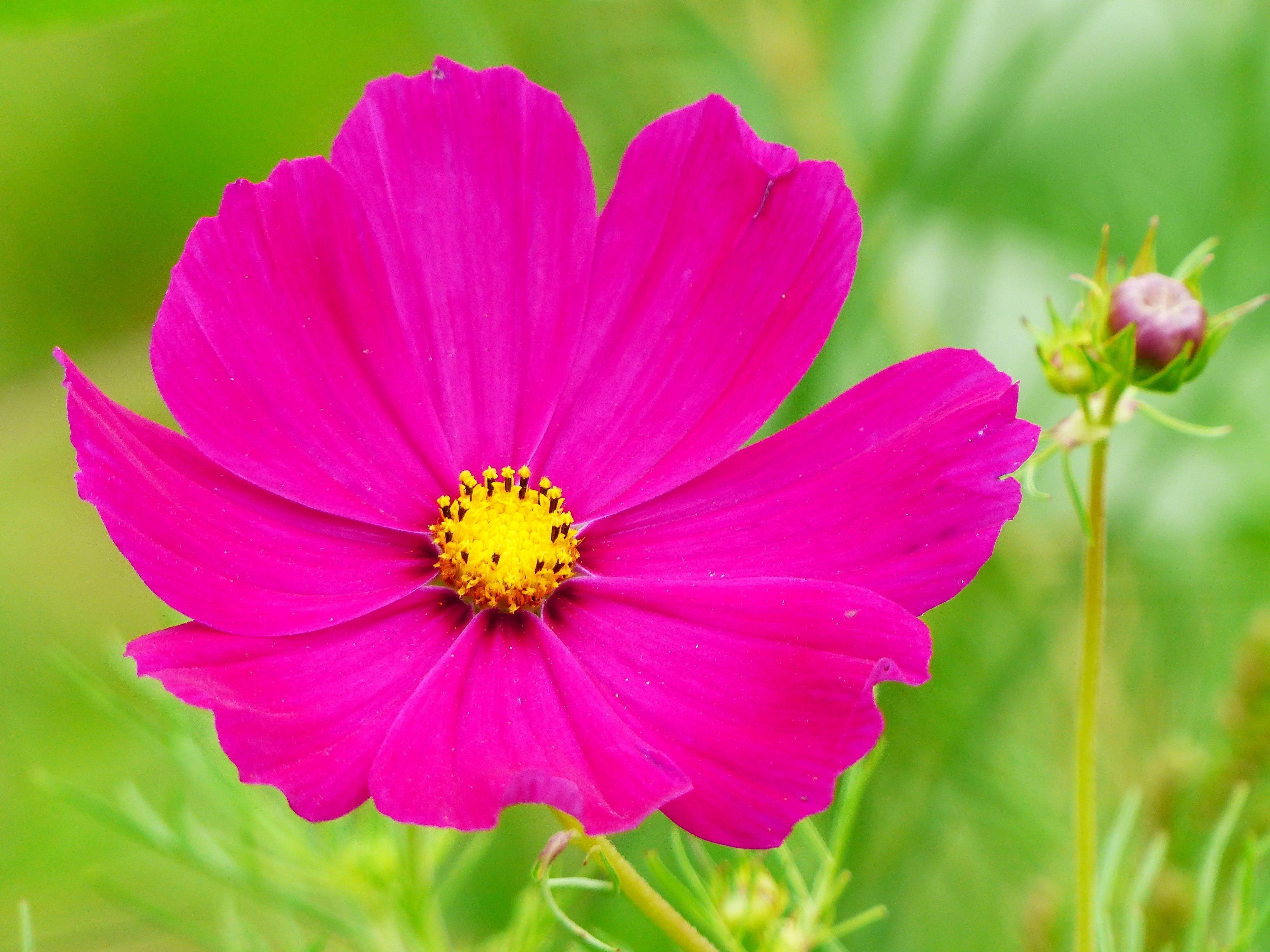 Free stock photo of bloom, blossom, bud, close