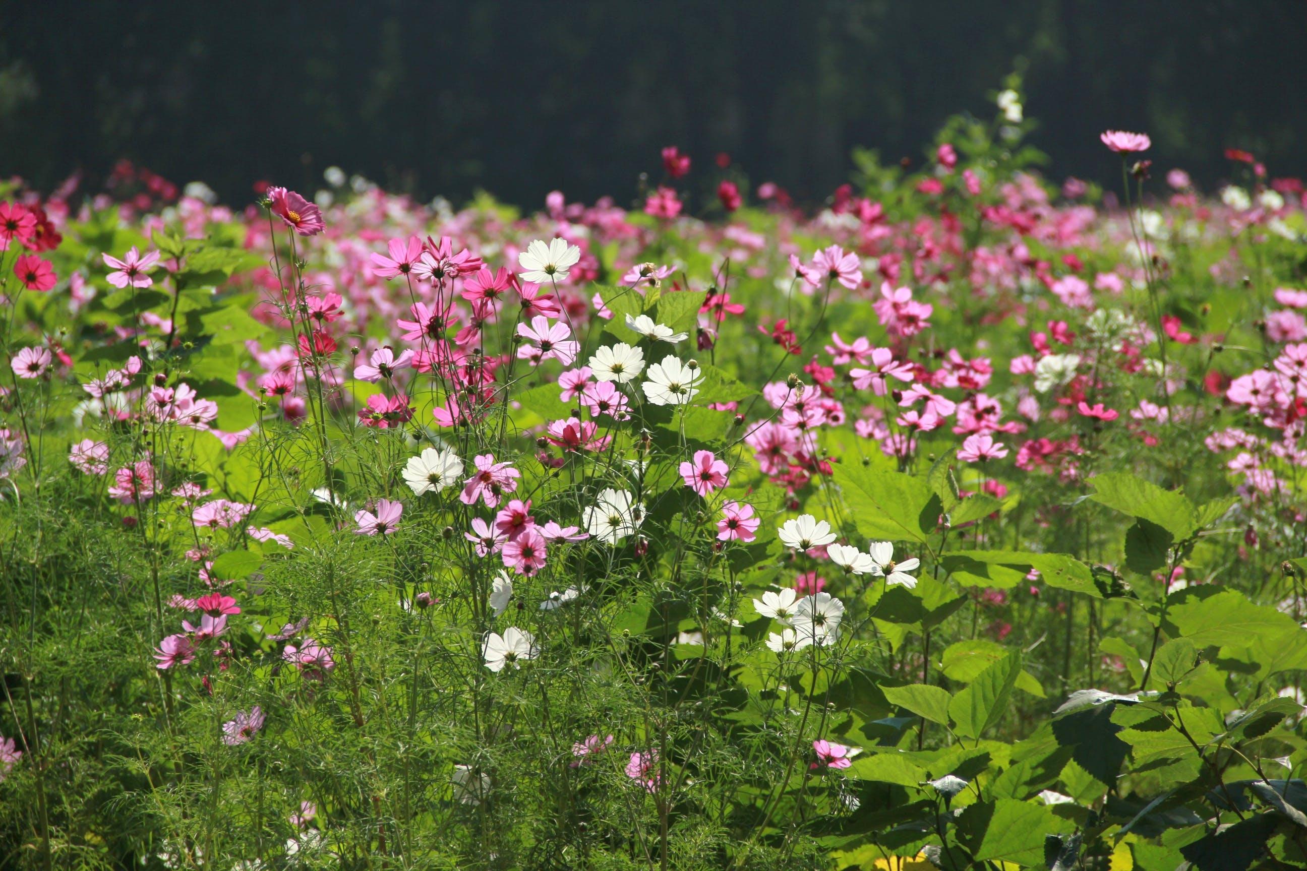Free stock photo of nature, flowers, garden, cosmos