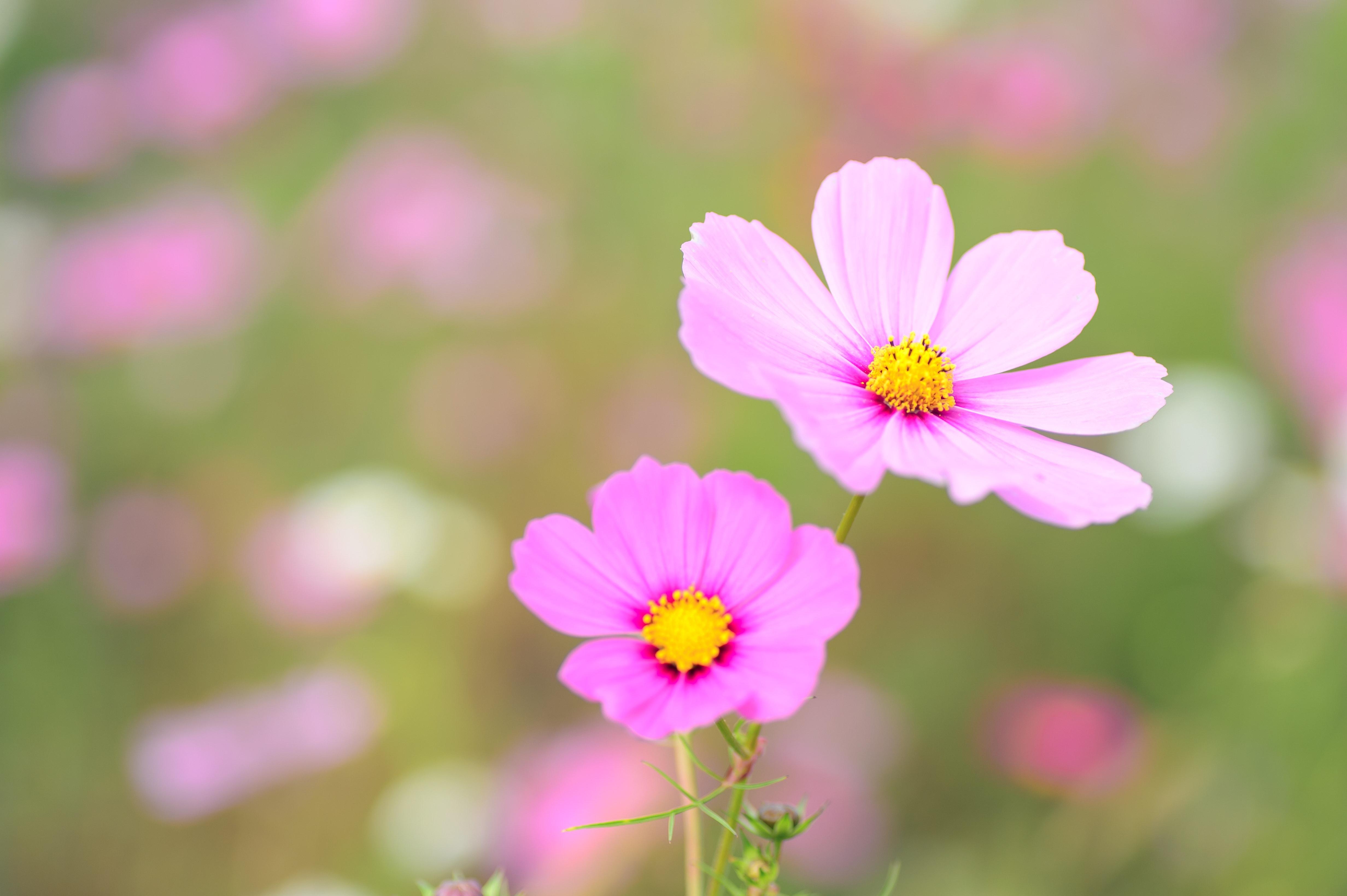 Free Stock Photo Of Autumn Autumn Flowers Cosmos