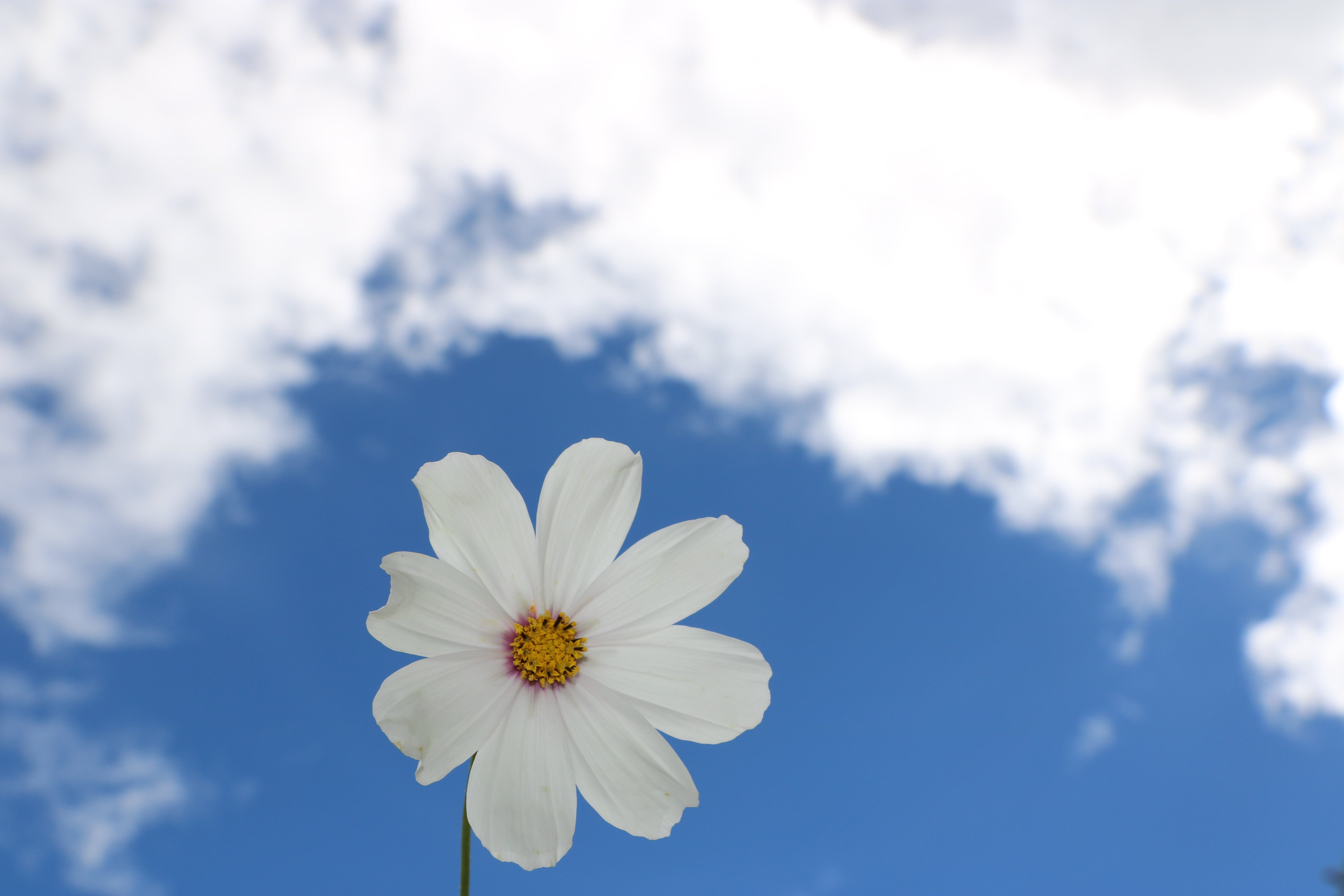 White Cosmos Flower Under White Cloud