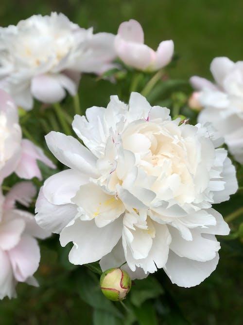 一束花, 牡丹, 白牡丹, 白色的花 的 免费素材照片