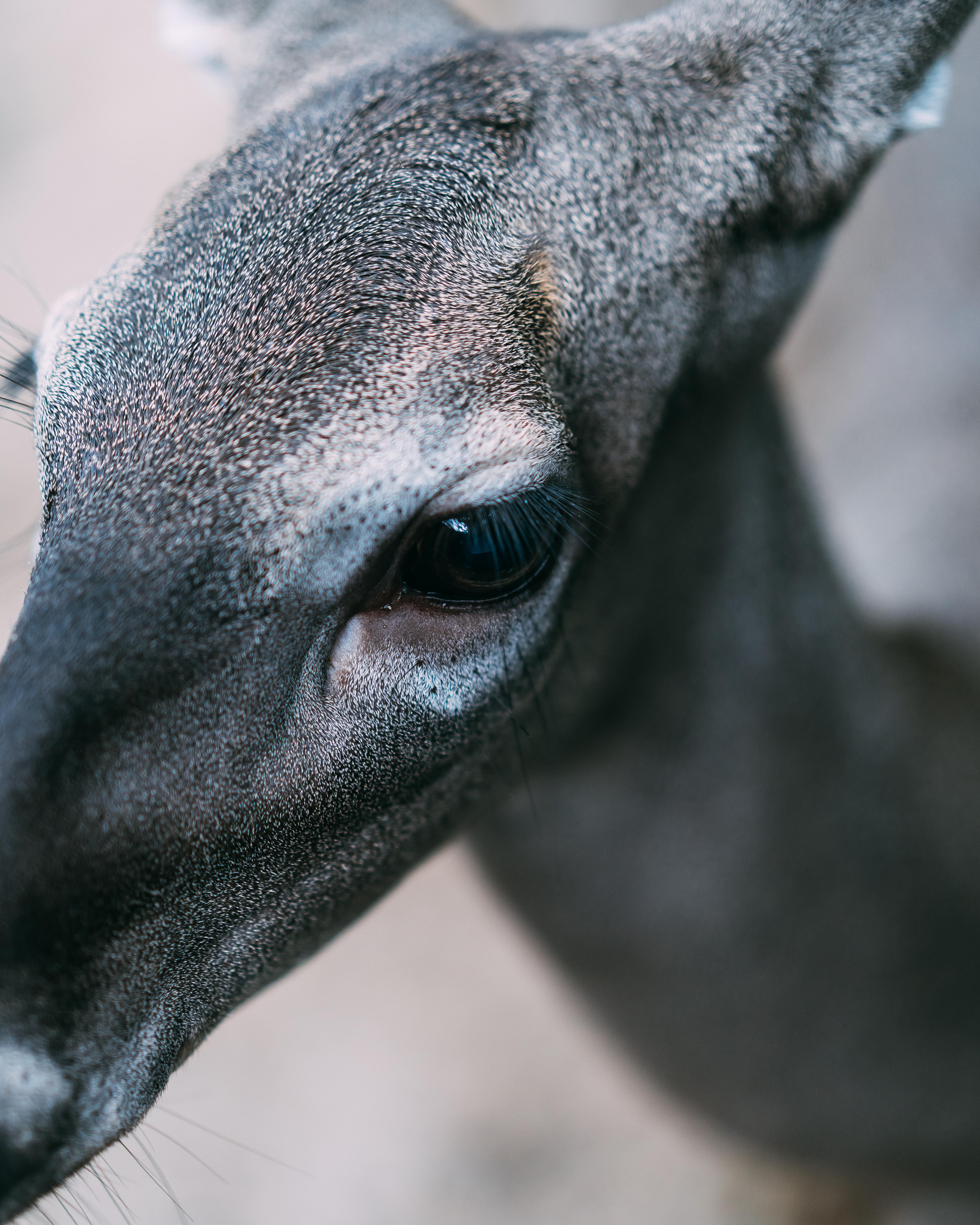 Close-Up Photo of Gray Deer