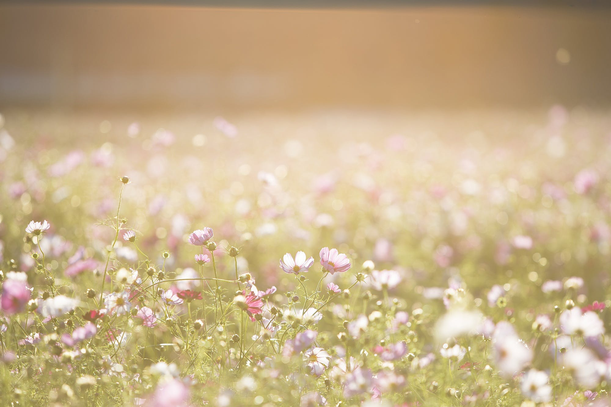 Pink and Purple Flower Field