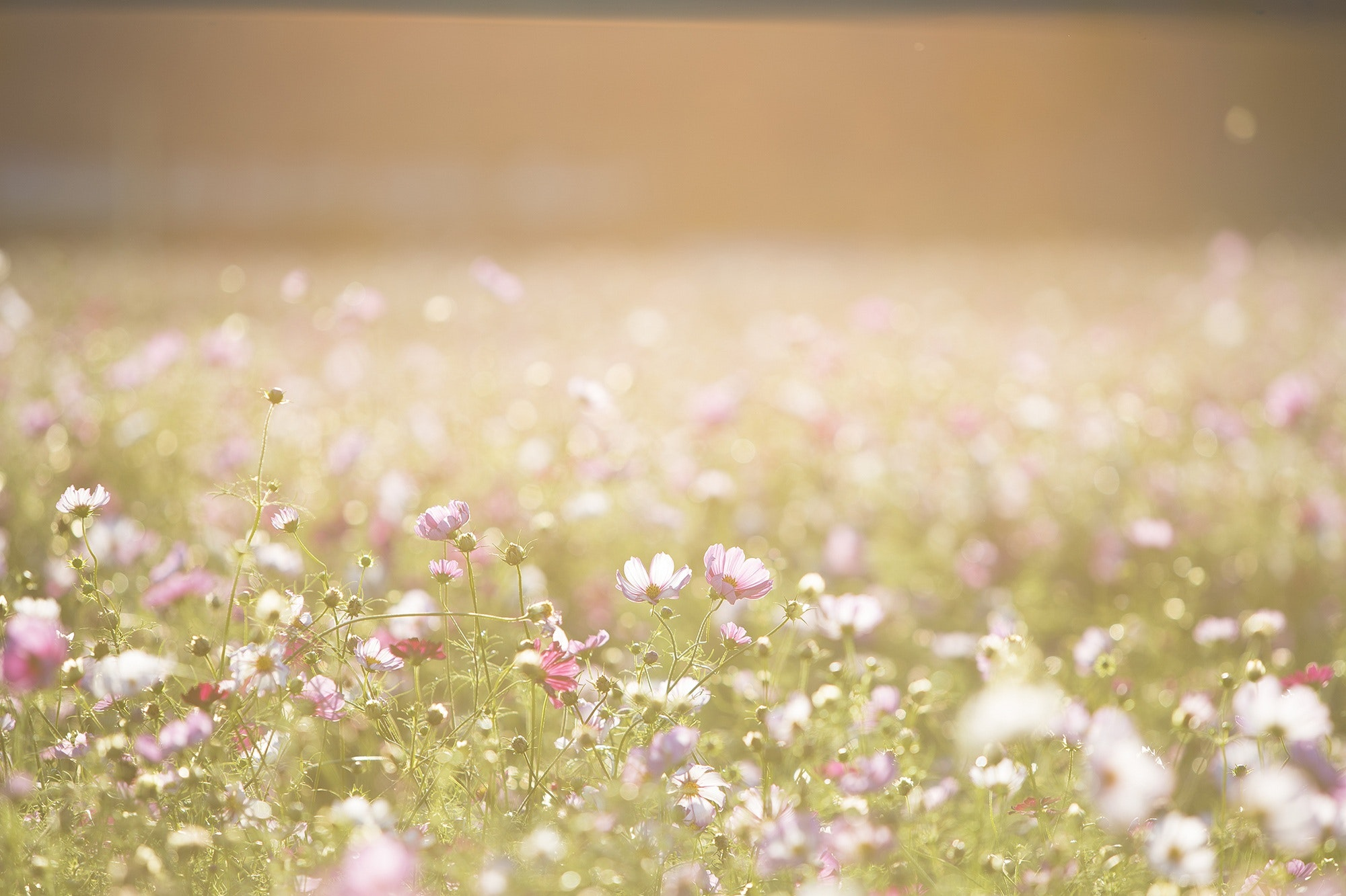 Pink And Purple Flower Field Free Stock Photo