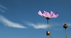 sky, flowers, blue