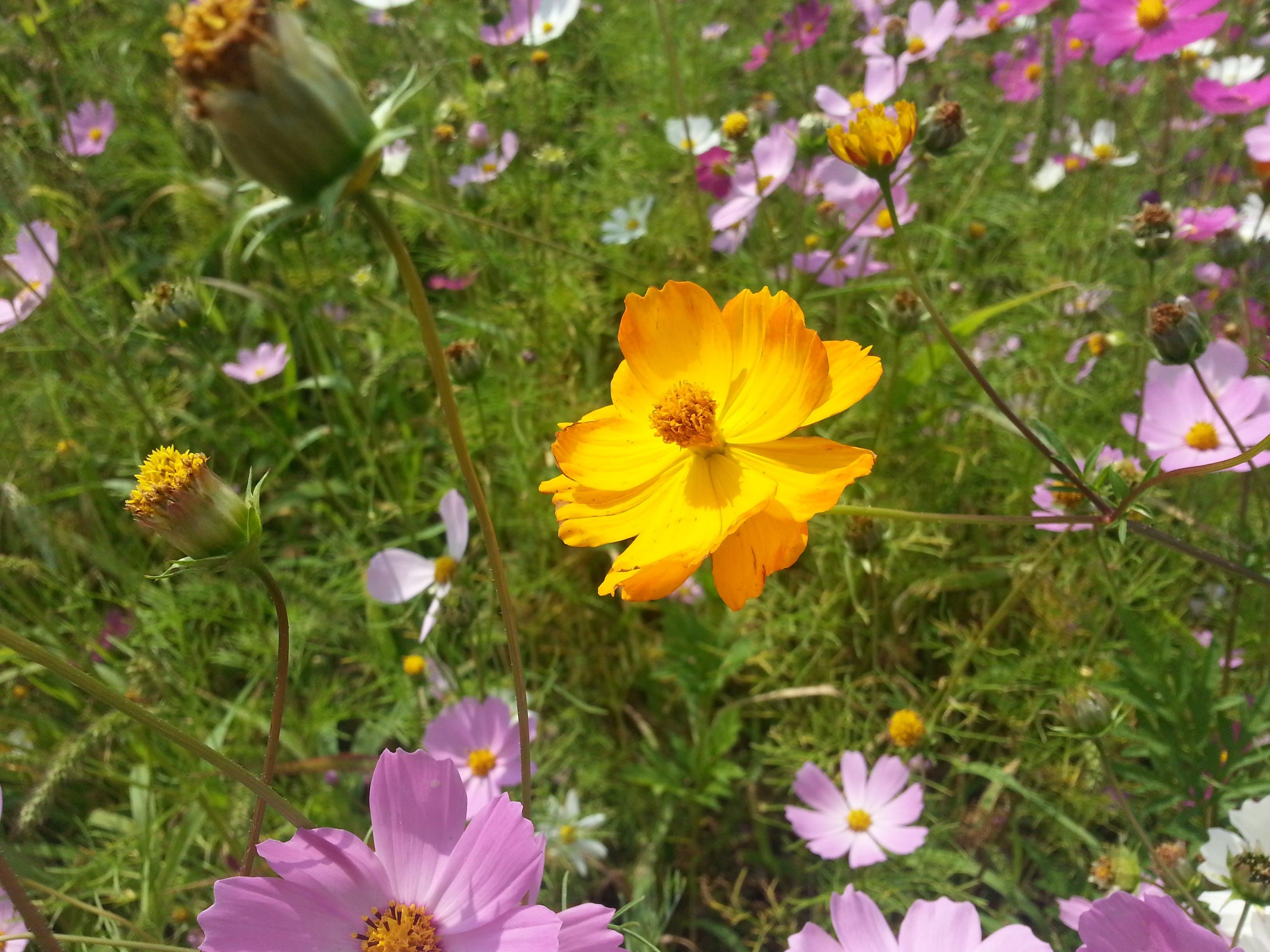 Free stock photo of flowers, summer, purple, yellow