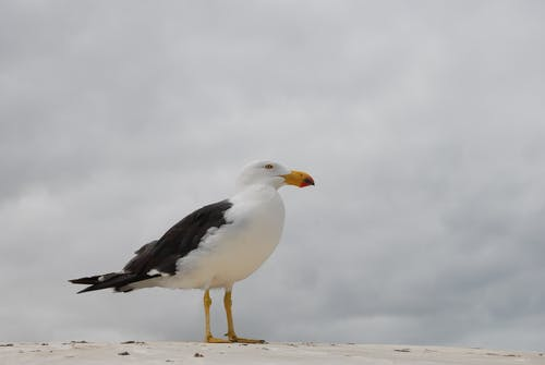 Free stock photo of Pacific Gull