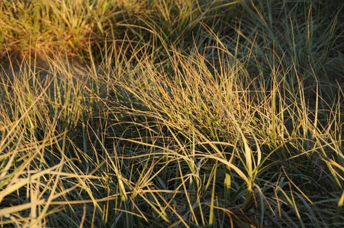 Free stock photo of beach grass