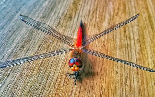 Free stock photo of Dragonfly animals insects
