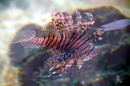 Free stock photo of lion fish