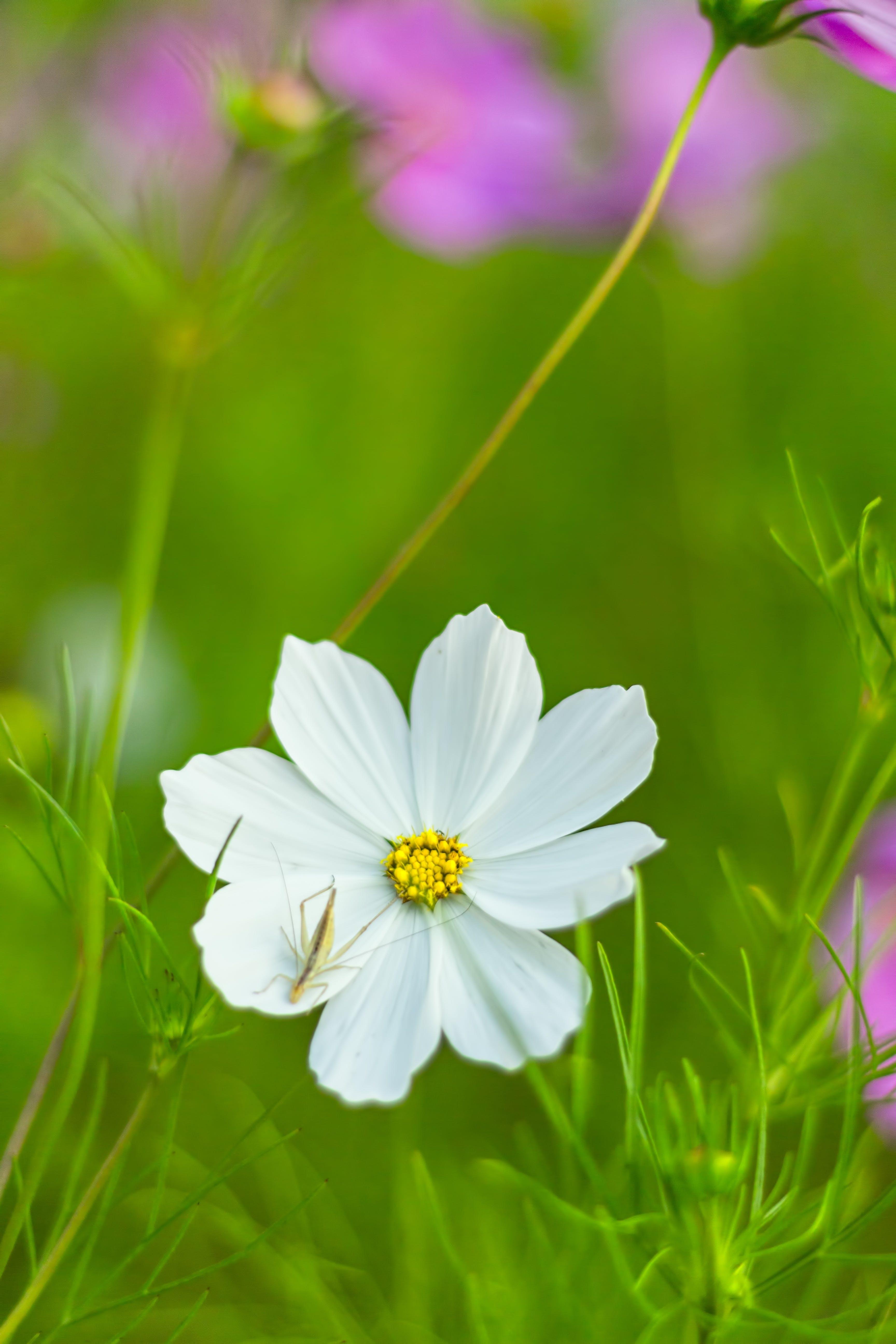 Free stock photo of bloom, blossom, close, como bipinnatus
