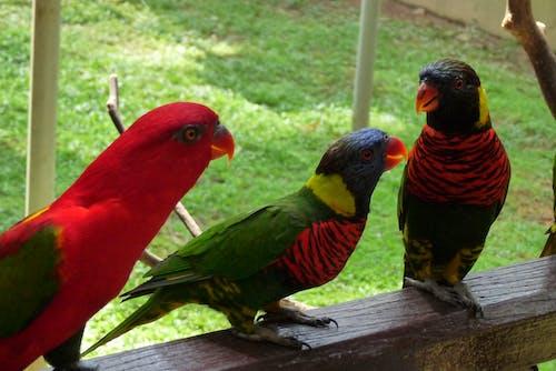 Kostnadsfri bild av parroter chit chattar