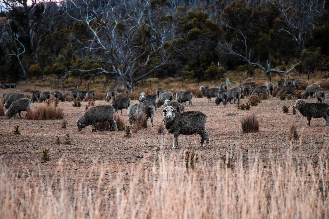 Australien, besætning, dyr