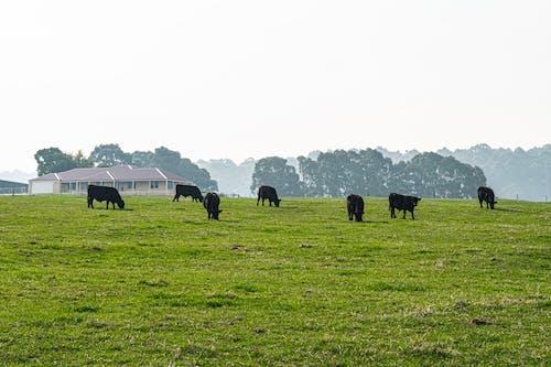 Kostnadsfri bild av avlägsna träd, betande boskap, dimmigt landskap, fredlig