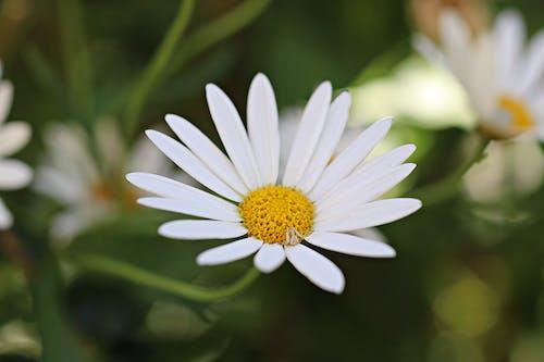 Gratis stockfoto met bloemen, madeliefje