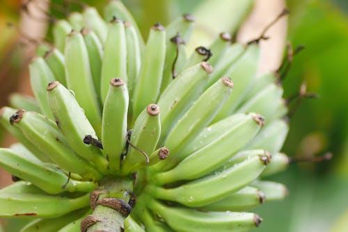 Free stock photo of asian food, banana, banana tree