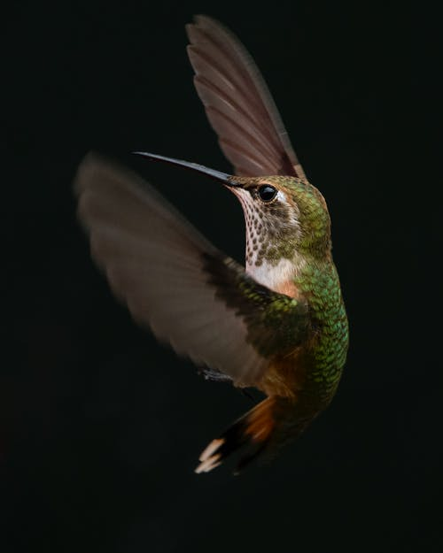 Green And Brown Hummingbird
