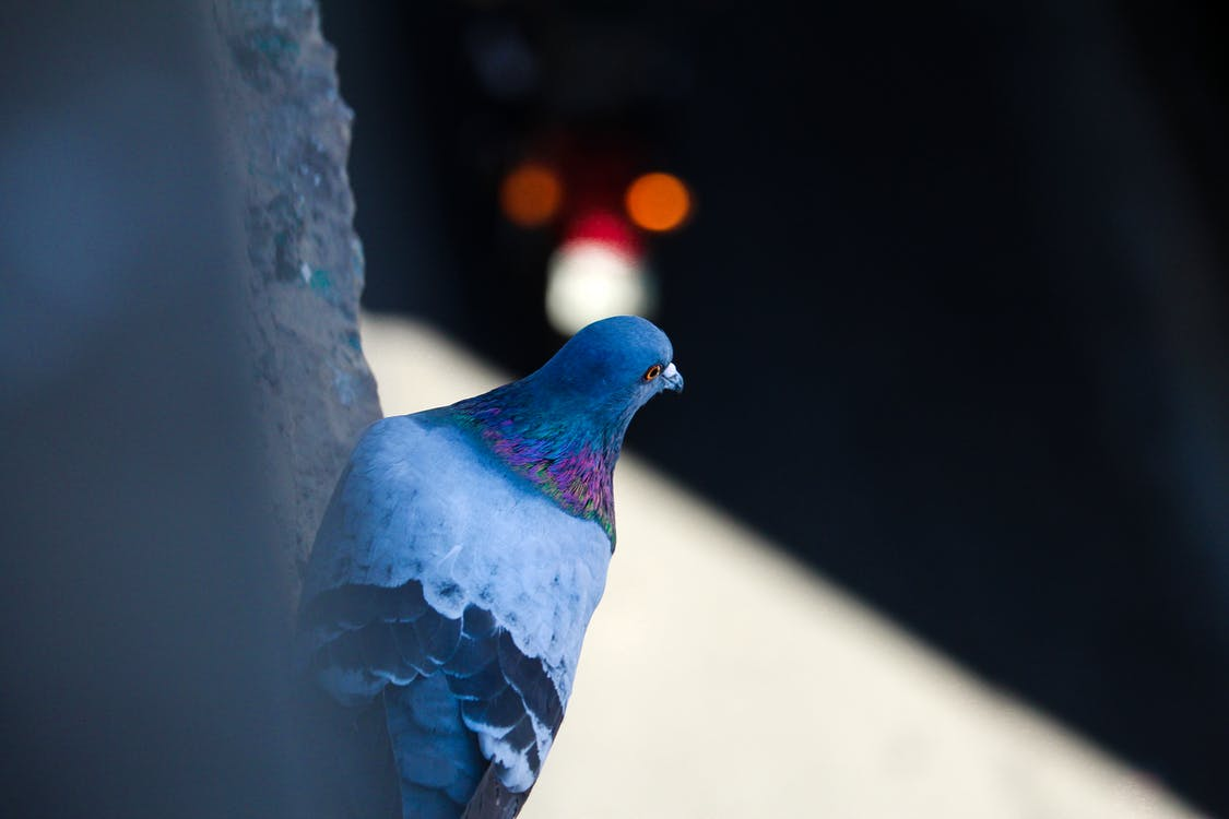 güvercin, Kent, kentsel