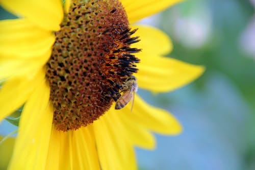 คลังภาพถ่ายฟรี ของ ดอกทานตะวัน, ผึ้ง