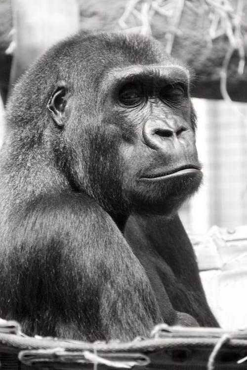 คลังภาพถ่ายฟรี ของ กอริลลา