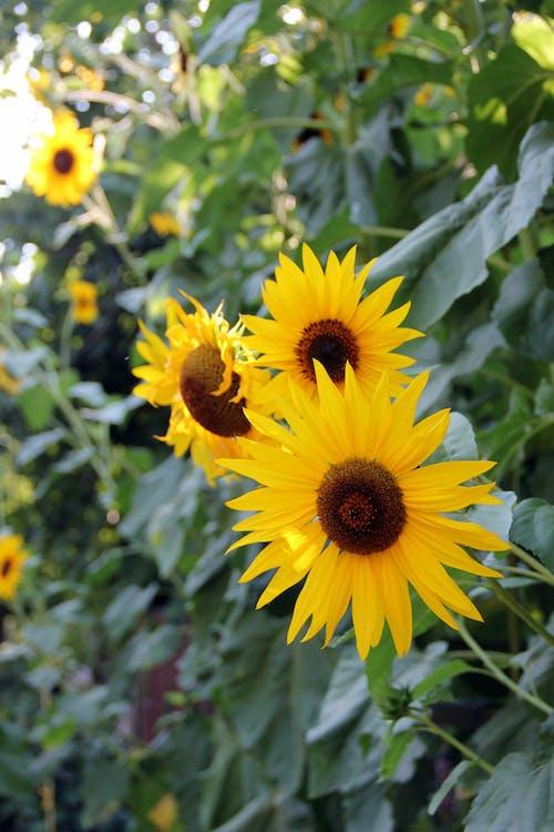 คลังภาพถ่ายฟรี ของ ดอกทานตะวัน