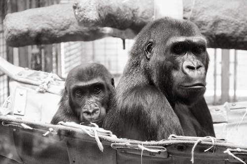 คลังภาพถ่ายฟรี ของ กอริลลา, ทารก, สวนสัตว์