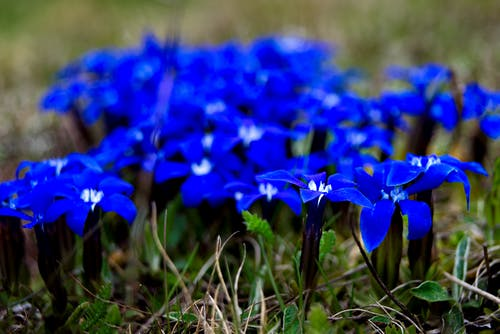 Free stock photo of blue, blue flowers, mountain flower