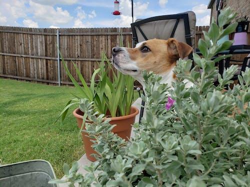 つぶやき, テキサスセージ, 犬の無料の写真素材