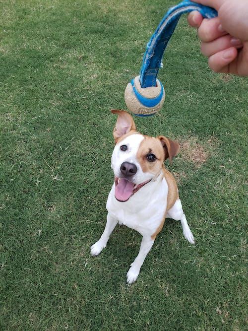 つぶやき, ボール, 犬, 遊び心のあるの無料の写真素材