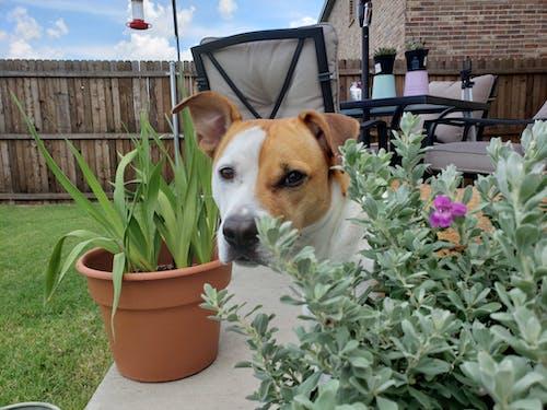 つぶやき, テキサスセージ, 低木, 犬の無料の写真素材