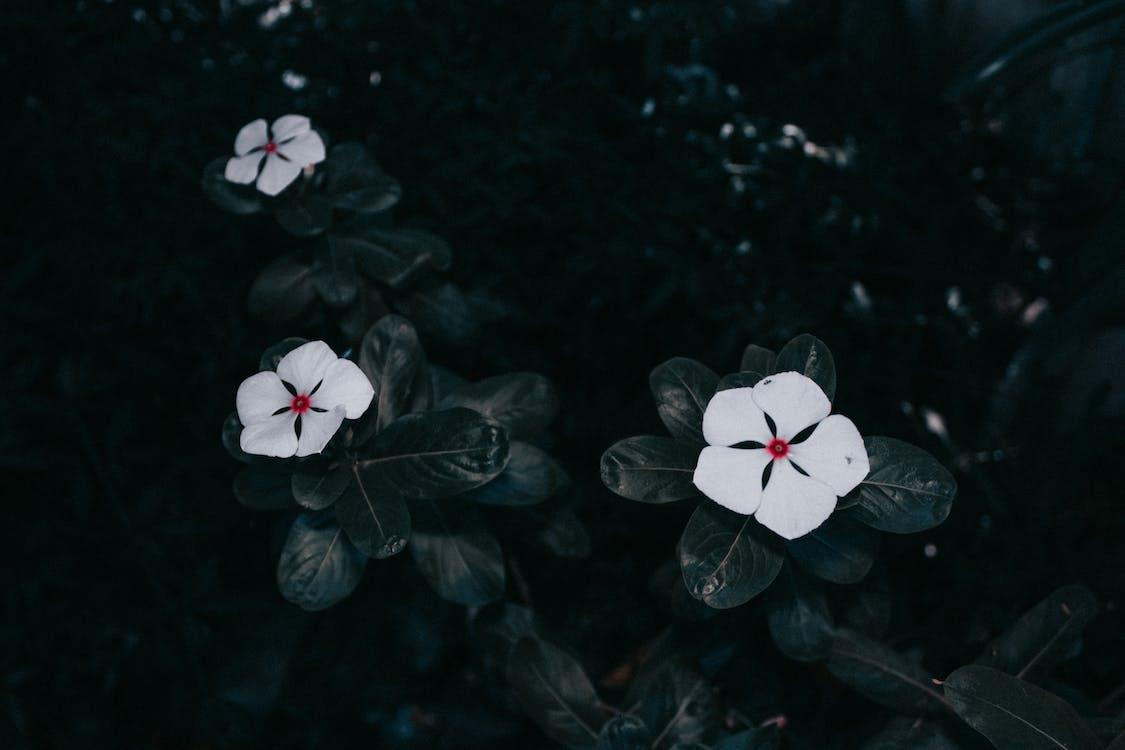 barwinek, białe kwiaty, delikatny