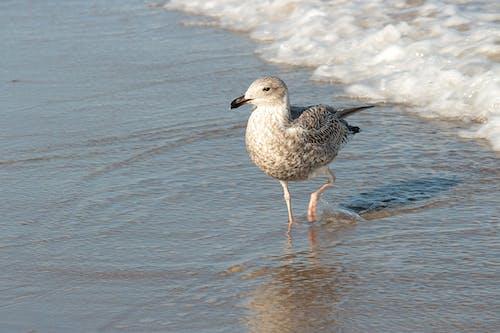 Ilmainen kuvapankkikuva tunnisteilla hiekkaranta, lintu, lokki, meri